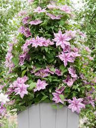 Best 25 Star Jasmine Vine Ideas On Pinterest  Jasmine Star Wall Climbing Plants In Pots