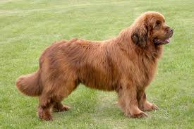 Newfie Puppy Growth Chart Newfoundland Dog Breed Information Pictures
