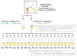 One Gene One Enzyme Beadle And Tatum Article Khan Academy