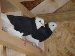 russian high flyer pigeons for sale 19 best rollers fantails images on pinterest rollers birmingham