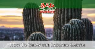 How To Grow The Saguaro Cactus A P Nursery