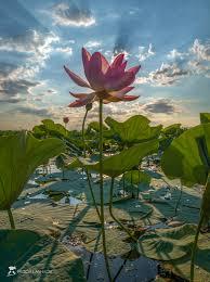 Цветут лотосы. Photographer Lashkov Fedor