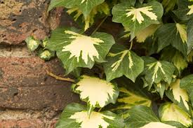 Plants For Shade Australian Plants OnlineWall Climbing Plants For Shade