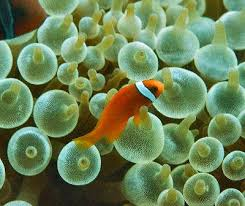 Clown Fish Identification Chart Clown Fish Anemone 10 Clownfish Hosting Sea Anemone Species