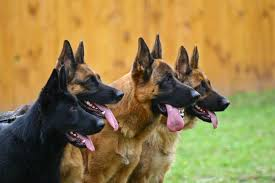 Gsd Weight Chart German Shepherds Weight And Height The Complete Guide And