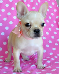 tiny french bulldog puppy br 2 6 lb akc princess br sold moving