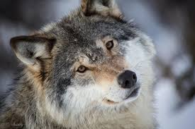 grey wolf size 35 best hd grey wolf wallpapers