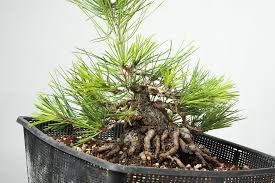 A few pine seeds, 6 years later. | Page 6 | Bonsai Nut