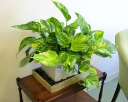 office cubicle plants. Stunning Office Desk Plants Furniture : Simple 6346 Best Fice Cubicle Good Cozy Colors Put Your And Design