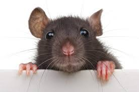 Rat Infestation - Atlantic Beach, Fleming Island, FL - Local Pest Control