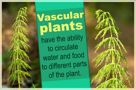 in this article we discuss the characteristics of vascular plants in a bid to help you understand what they are and how they differ from non vascular