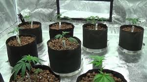 Multiple Room Tents Appollo 5x5 Grow Tent New Clones Gorilla Glue4 Sunset Sherbet