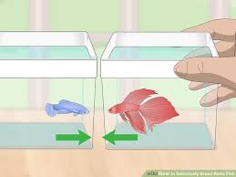 Betta Genetics Chart How To Selectively Breed Betta Fish With Pictures Wikihow