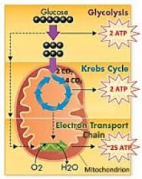 Complete The Chart For The Stages Of Cellular Respiration 3 Stages Of Cellular Respiration Cell Respiration Cell