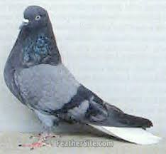 russian high flyer pigeons for sale orliks