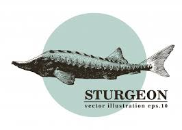 Hand Drawn Vector Illustration Of Sturgeon Fish Vector