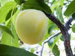 Fruit Trees  Plum U0027Victoriau0027  Stone Fruit Trees  Van Meuwen Plum Tree Not Producing Fruit