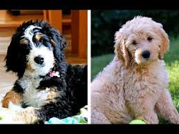 Bernedoodle Growth Chart Bernedoodle Vs Goldendoodle Puppies And Full Grown Dogs