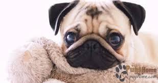 newborn baby pugs for sale.  Sale Pug Puppies For Sale In Colorado And Newborn Baby Pugs