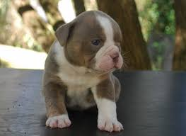 Coat Color Inheritance For Olde English Bulldogge Puppies Olde