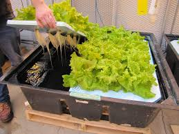 lettuce growing in deep flow hydroponics a student is lifting up part of a styrofoam board to reveal the roots and the water underneath david wees