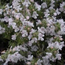 Genere Satureja - Flora Italiana