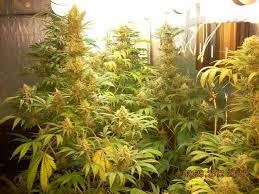 an example of flowering cans plants growing under magnetic induction grow lights