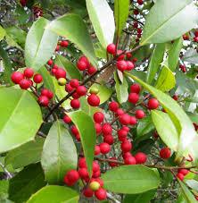 LeAnn Cleyera Ternstroemia Gymnanthera U0027Contherannu0027 In Fruit Tree Nursery North Carolina