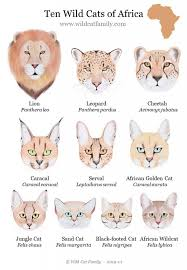 Wild Cat Posters Wild Cat Charts Wild Cat Family