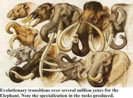 Elephant Evolution Chart Elephants Prehistoric Animals