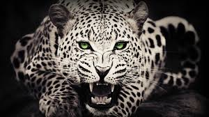 res 1920x1200 black cheetah wallpapers