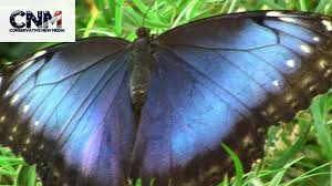 big pictures of butterflies. Modren Butterflies Big Blue Butterfly Up Close In 1080P High Definition Inside Pictures Of Butterflies T