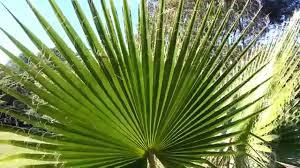 fan palm trees. fan palm trees r
