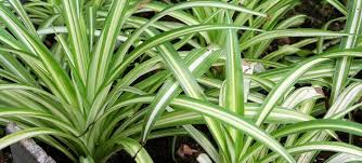 view in gallery long striped spider plant leaves