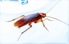 Cockroach Exterminator Richmond All Pest Exterminators Richmond