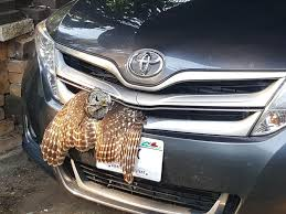Owl rescued from car's grill in Trempealeau County   Local News    chippewa.com