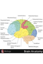 Biology Charts And Posters Details About Human Brain Anatomy Regions Labeled Educational Chart Poster 18x12 Inch