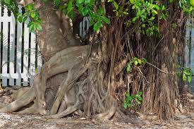 ficus trees in california and how to control their invasive roots