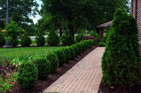 Winter Gem Boxwood Lining The Walk Way To Make A Hedge