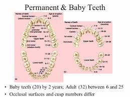 When Do Babies Get Teeth Chart Teeth Charts Kozen Jasonkellyphoto Co