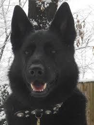 black german shepherd puppies for sale.  Shepherd Intended Black German Shepherd Puppies For Sale K