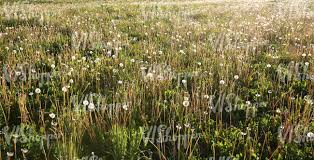 tall grass field sunset. Field Of Tall Grass And Dandelions At Sunset