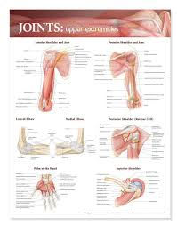 Upper Leg Muscle Chart Joints Of The Upper Extremities Laminated Anatomical Chart