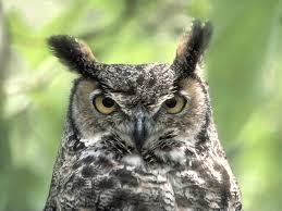 Owl Apa