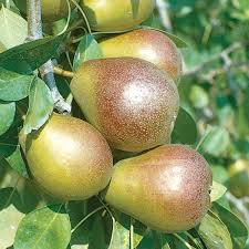 Moonglow Pear Pollination Chart Seckel Pear