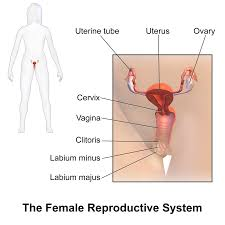 Female Reproductive System Chart Female Reproductive System Wikipedia