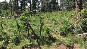 an illegal grow in pueblo