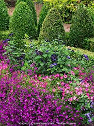 pink petunia and bedding plants