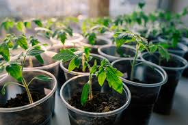 how to plant a garden. How To Grow Your Own Tomatoes, Part 1: Starting Seeds Indoors Plant A Garden