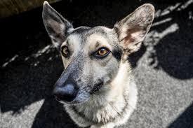 dog eyelids facton problems